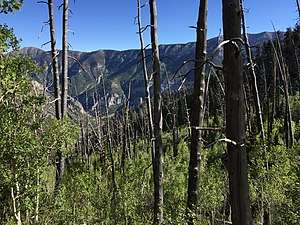 Complex early seral forest - Complex early seral forest, also called snag forest, of burned trees and Aspen sprouts in the Mount Charleston Wilderness, Nevada