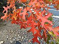 2015-10-27 16 27 13 Pin Oak foliage during autumn along Wedge Parkway in Reno, Nevada.jpg