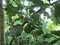 20160826Ilex aquifolium1.jpg