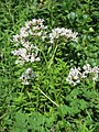 20170717Valeriana officinalis1.jpg