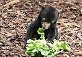 2019-08-14 Malayan sun bear at Burgers' Zoo.jpg