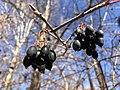 2019-11-26 12 49 03 Blackhaw Viburnum fruit along a walking trail in the Franklin Glen section of Chantilly, Fairfax County, Virginia.jpg