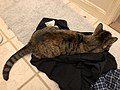 2020-03-25 02 29 01 A tabby cat lying in a pair of pants in the Franklin Farm section of Oak Hill, Fairfax County, Virginia.jpg