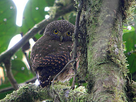 2728 Cloud-forest Pygmy-Owl 2 (2076601412).jpg