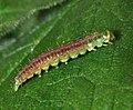 32.018 BF688 Agonopterix heracliana pre pupation larva (5932647161).jpg