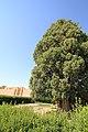 4,000-year-old Iranian cypress (6223660178).jpg