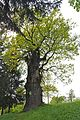 46-230-5011 Veryn Age-old Oak Tree RB.jpg
