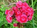 4942 - Mürren-Gimmelwald - Formicidae on Flowers.JPG