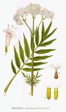 60 Valeriana officinalis.jpg