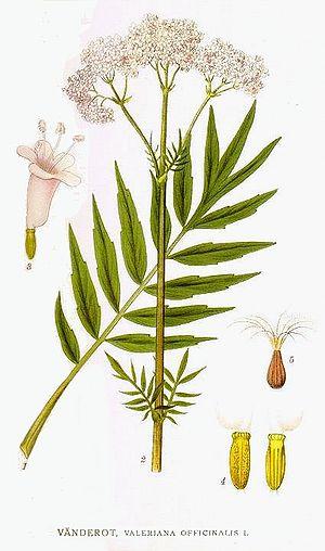 Valeriana - Image: 60 Valeriana officinalis