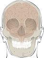 618 Bones Protect Brain.jpg