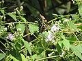 83綠斑鳳蝶12(林麗娟攝) (18855988378).jpg