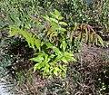 A. altissima - plant - 1.jpg