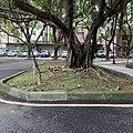 A Banyan in National Tsing Hua University.jpg