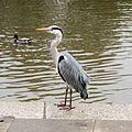 A Heron In Richmond - London (6992670970).jpg