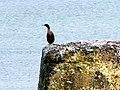 A Shag at Lossiemouth - geograph.org.uk - 1144740.jpg