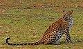 A beautiful Sri Lankan Leopardess gracefully looking back.jpg