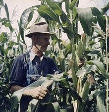 Фермер среди высоких растений кукурузы