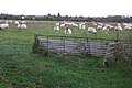 A field of sheep near Wootton Grange Farm - geograph.org.uk - 1594632.jpg