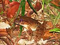 A frog from Borneo (8080595994).jpg