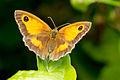 A gatekeeper butterfly.jpg