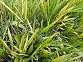 A image of Galanga plant.JPG