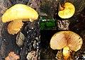 A lovely bright yellow Pholliota aurivella mushroom at Mariendaal Schaarsbergen - panoramio.jpg