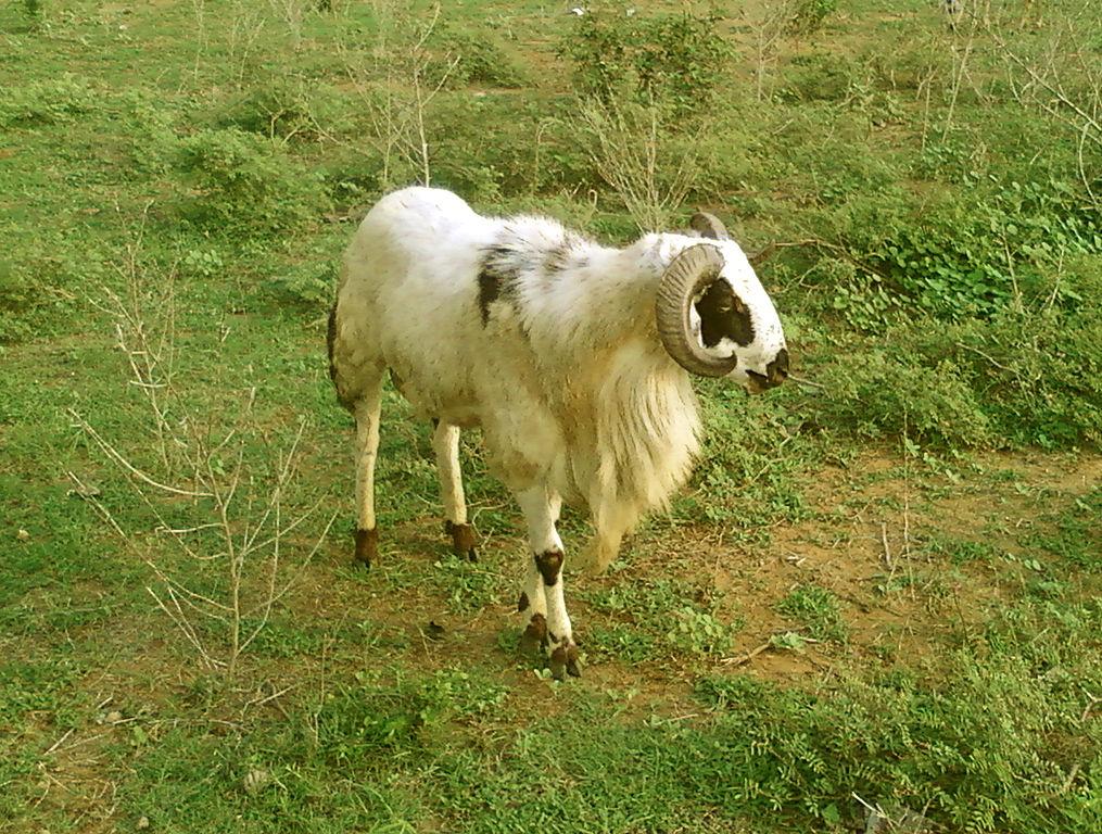 R Goats File:A male goat(capra...