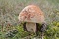A nice Amanita rubescens (Blusher, D= Perlpilz, NL= Parelamaniet) at Deelerwoud 22 August 2014 - panoramio.jpg