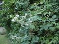 Aa bramble tipflowering 00.jpg