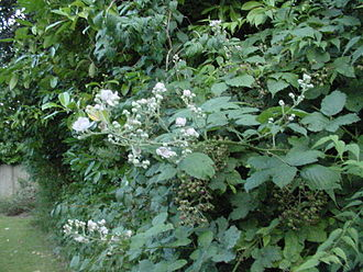 Bramble - Bramble in Manchester, England. Note the unripe fruit on second-year side shoots in the background and late flowers (13 August 2017) from the tip-flowering of first-year growth.