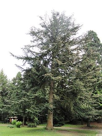 Abies chensiensis - Image: Abies chensiensis Botanischer Garten Freiburg DSC06478