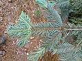 Abies durangensis, Mezquitic, Jalisco, Mexico 3.jpg