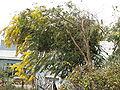 Acacia baileyana1.jpg