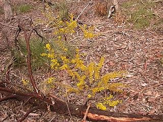 <i>Acacia buxifolia</i> species of plant