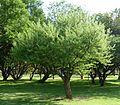 Acacia hebeclada subsp hebeclada, habitus, a, Jan Celliers Park.jpg