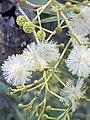 Acacia implexa 01.jpg