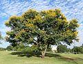 Acacia karroo, habitus, Jimmy Aves Park, a.jpg