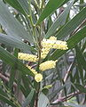 Acacia longifolia 02.jpg