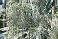 Acacia pendula 1zz.jpg