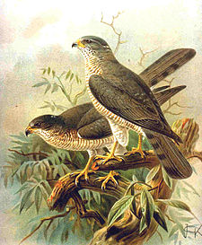 Accipiter brevipes.jpg