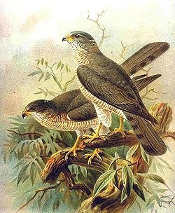 Краткопрсти кобац, Accipiter brevipes