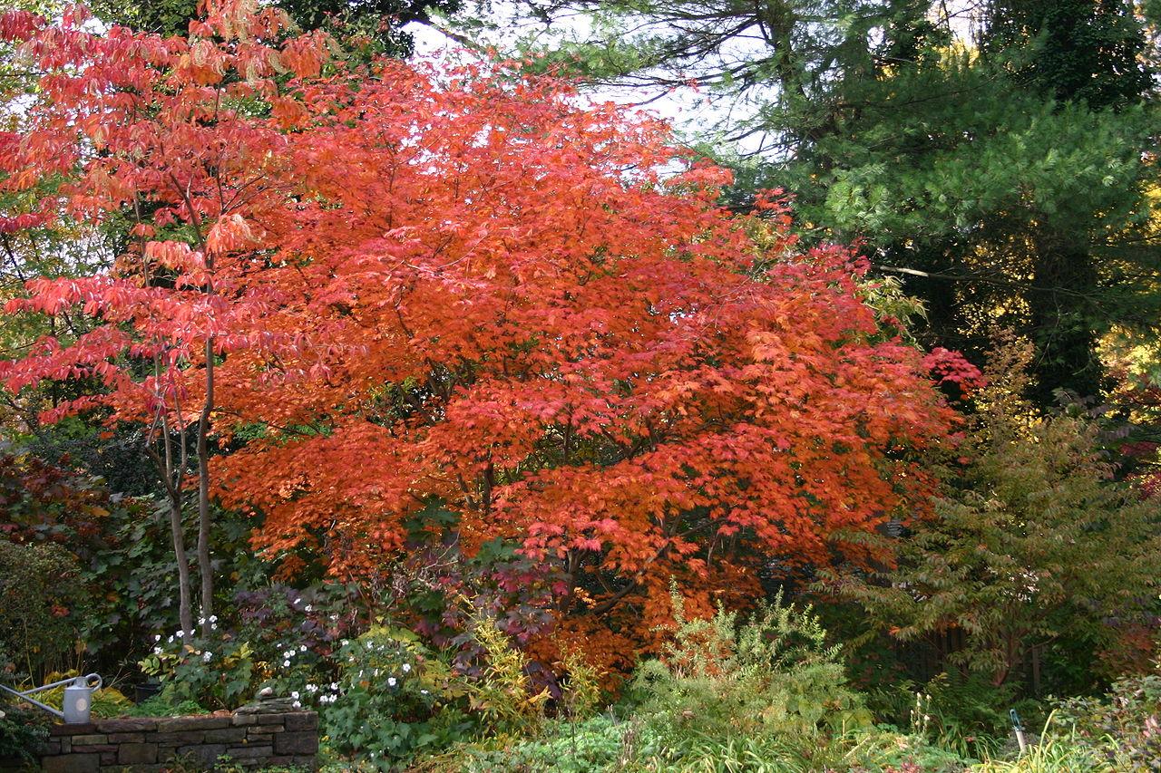 file acer japonicum aconitifolium fall color jpg
