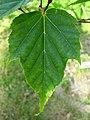 Acer morris. leaf.jpg