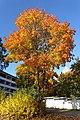 Acer platanoides in autumn.jpg