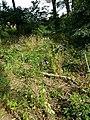 Aconitum variegatum subsp. variegatum sl51.jpg