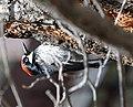 Acorn Woodpecker (33864833632).jpg