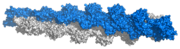 F-Actin; surface representation of 13 subunit repeat based on Ken Holmes' actin filament model