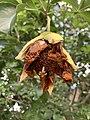 Adansonia digitata— flower in Mounts Botanical Garden 01.jpg