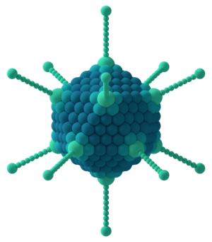 Capsid - Icosahedral capsid of an adenovirus